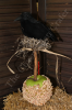 Crow on Caramel Apple